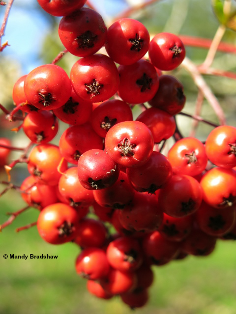 Batsford sorbus berries