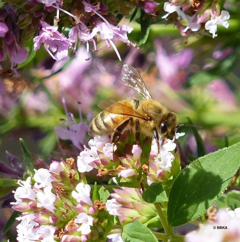 Bees can visit up to 1,000 flowers a day