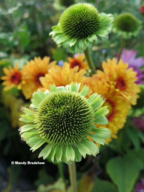 echinacea and chyrsanthemum