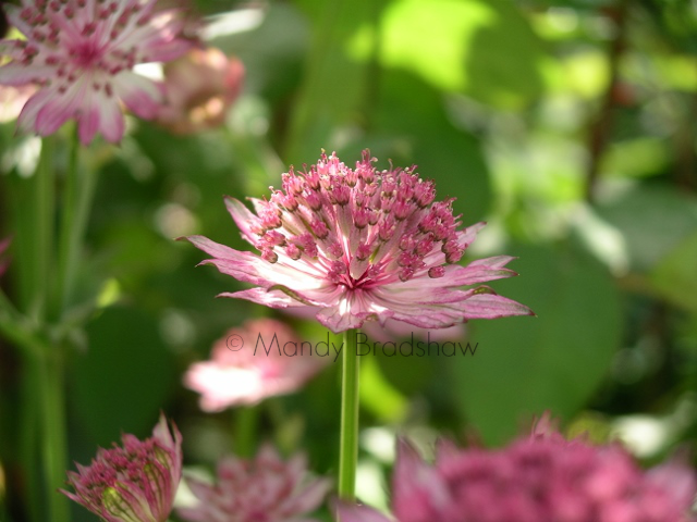 Day 1. An astrantia in the spotlight.