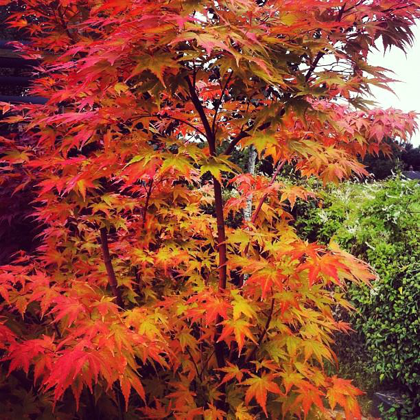 acers