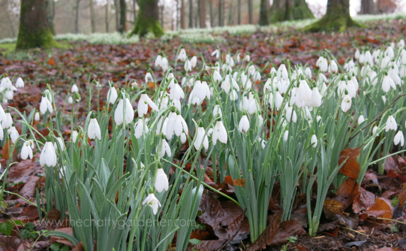 Discovering snowdrops at Colesbourne Park
