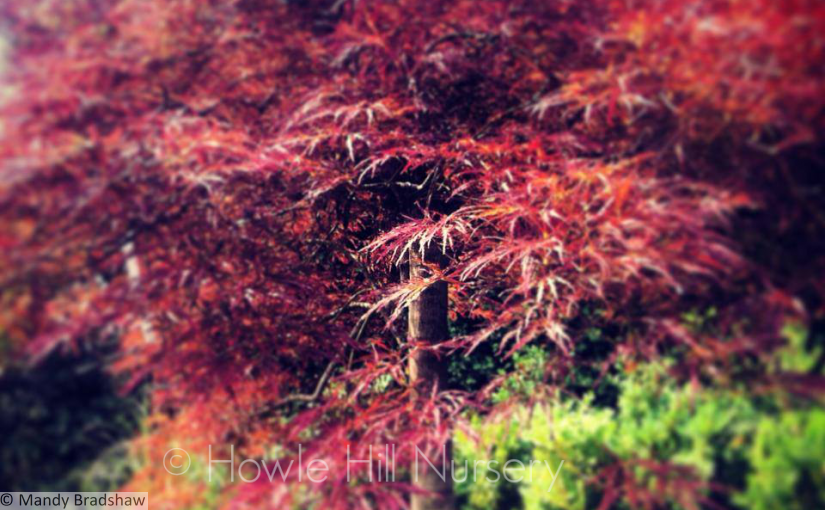 Acers light up the autumn