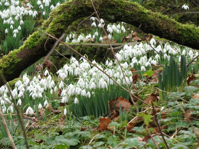 snowdrop gardens