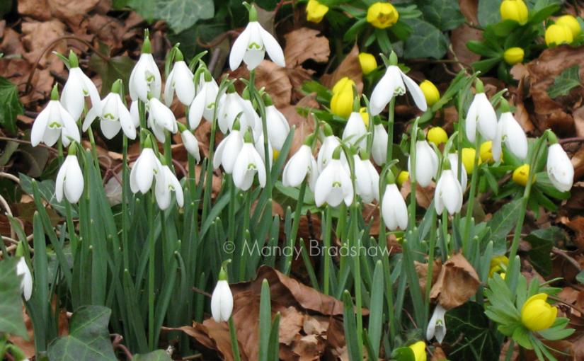 Cotswold snowdrop gardens 2016