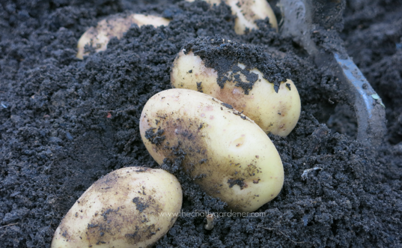 Top choices for growing potatoes