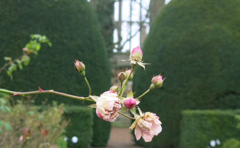 Tackling the roses at Sudeley