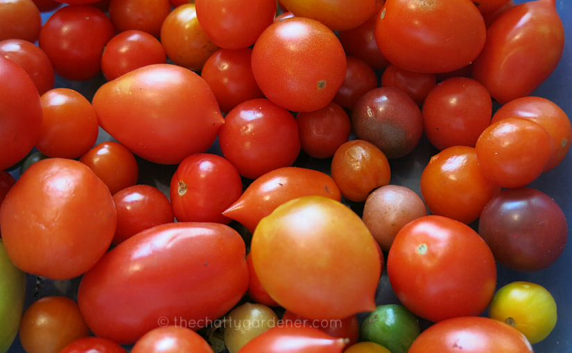 Tomatoes – a growing addiction
